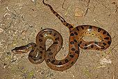 Green Anaconda (Eunectes murinus), French Guyana