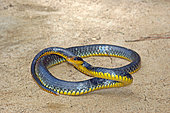 Amazon whipsnake (Chironius carinatus) female, French Guyana