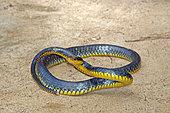 Amazon whipsnake (Chironius carinatus) female, French Guyana