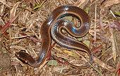 South American Pond Snake (Pseudoeryx plicatilis), French Guyana