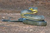Puffing Snake (Pseustes poecilonotus), French Guyana