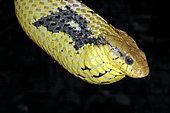 Amazon Puffing Snake (Spilotes sulphureus), French Guyana