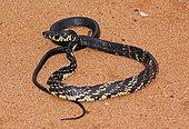 Tiger Ratsnake (Spilotes pullatus), French Guyana