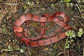 Red vine snake (Siphlophis compressus), French Guyana