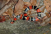 Common coral snake (Micrurus surinamensis), French Guyana