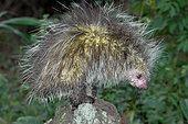 Black-tailed Hairy Dwarf Porcupine (Coendou melanurus), French Guyana