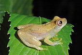Rivero's tiny treefrog (Dendropsophus minusculus), French Guyana