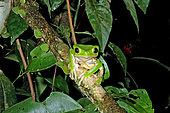 Monkey Frog (Phyllomedusa bicolor), French Guyana