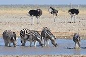 Burchell's zebras (Equus quagga burchellii) drinking in a waterhole, ostriches (Struthio camelus) behind, Etosha National Park, Namibia, Africa