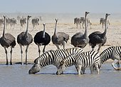 Burchell's zebras (Equus quagga burchellii) drinking with common ostriches (Struthio camelus) at a waterhole, Etosha National Park, Namibia, Africa