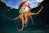'Octopus Training', At the end of a session of free diving, I noticed a soccer ball, in the distance and on the surface. Intrigued I approached it, and then I noticed that below it was an octopus that was being pulled along by the current. I do not know what it was doing under the ball, but I think it is training for the next football World Cup! There was time for me to take a couple of shots before the octopus let go of the ball and dropped back to the seabed.