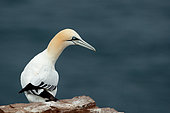 Northern Gannet (Morus bassanus) on the shore, Scotland