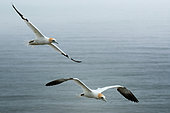 Northern Gannet (Morus bassanus) in flight, Scotland