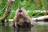 European beaver (Castor fiber) Eating branches of willow, Ardennes, Belgium
