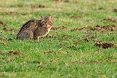 Wild cat (Felis silvestris) in the grass, Ardenne, Belgium