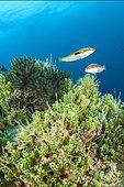 Seabed colonized by the invasive tropical alga Caulerpa cylindracea (ex Caulerpa racemosa), in the Port-Cros National Park, Var, Provence-Alpes-Côte d´Azur, France.