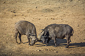 Two African buffalo bulls dueling in riverbank in Kruger National park, South Africa ; Specie Syncerus caffer family of Bovidae