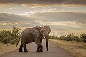Éléphant d'Afrique (Loxodonta africana) en colère traversant une route de safari, Parc national Kruger, Afrique du Sud