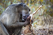 Chacma baboon male scavenging a baby antelope in Kruger National park, South Africa ; Specie Papio ursinus family of Cercopithecidae
