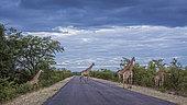 Girafes (Giraffa camelopardalis) groupe traversant une route de safari, Parc national Kruger, Afrique du Sud