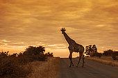 Girafe (Giraffa camelopardalis) traversant une route de safari à l'aube, Parc national Kruger, Afrique du Sud