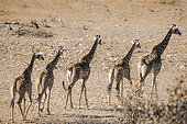 Single file of Giraffes walking in drough riverbed in Kruger National park, South Africa ; Specie Giraffa camelopardalis family of Giraffidae