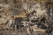 Spotted hyaena chasing white-backed vultures from a carcass in Kruger National park, South Africa ; Specie Crocuta crocuta family of Hyaenidae