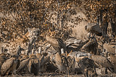 Spotted hyaena sharing giraffe carcass with white-backed vultures in Kruger National park, South Africa ; Specie Crocuta crocuta family of Hyaenidae