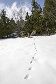 Trace of roe deer in the snow, Vercors, Corrençon en Vercors, France