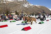 Departure of the race for the child Lekkarod Bessans, Haute Maurienne, Savoie, France