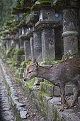 Sika deer (Cervus nippon) in Nara park, Japan