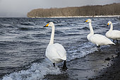 Whooper swans (Cygnus cygnus) near Lake Kussharo in winter, Hokkaido, Japan