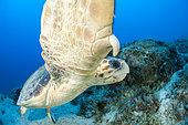Loggerhead turtle (Caretta caretta), in the Kas Kekova marine protected area, Turkey.
