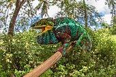 Panther chameleon (Furcifer pardalis), male, sitting on a branch, Nosy Faly Island, Northwest Madagascar, Madagascar, Africa