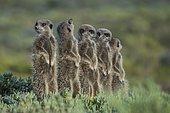 Group of Meerkats (Suricata suricatta), one looking up, Little Karoo, Western Cape, South Africa, Africa