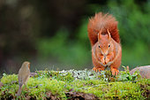 Red squirrel (Sciurus vulgaris) feeding on ground with Robin, Ardennes, Belgium