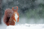 Red squirrel (Sciurus vulgaris) under a snow shower, Ardennes, Belgium