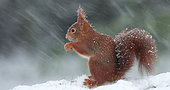 Red squirrel (Sciurus vulgaris) feeding under a snow shower, Ardennes, Belgium