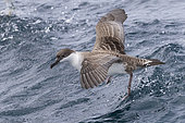 Great Shearwater (Ardenna gravis), individual taking off from the water, Western Cape, South Africa