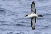 Great Shearwater (Ardenna gravis), individual in flight showing underparts, Western Cape, South Africa
