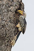 Southern Yellow-billed Hornbill (Lamprotornis leucomelas), side view of an adult female closing the entrance of the nest with mud, Mpumalanga, South Africa