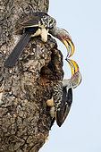 Southern Yellow-billed Hornbill (Lamprotornis leucomelas), side view of couple closing the entrance of the nest with mud, Mpumalanga, South Africa