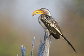 Southern Yellow-billed Hornbill (Lamprotornis leucomelas), side view of an adult perched on a dead tree, Mpumalanga, South Africa