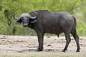 African Buffalo (Syncerus caffer), side view of an adult male standing on the ground, Mpumalanga. South Africa