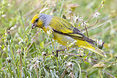 Cape Canary (Serinus canicollis), adult male feeding among the grass, Western Cape, South Africa