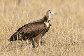 Hooded Vulture (Necrosyrtes monachus), side view of a juvenile standing on the ground, Mpumalanga, South Africa