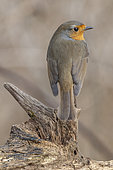 European robin (Erithacus rubecula) on a branch, France