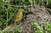 Yellowhammer (Emberiza citrinella) female feeding her young at nest, Alsace, France