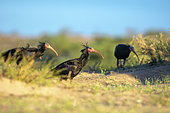 Northern Bald Ibis (Geronticus eremita) on the ground, Tamri Nature Reserve, Morocco