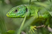 Western Green Lizard (Lacerta viridis bilineata) male in early spring, Alsace, France
